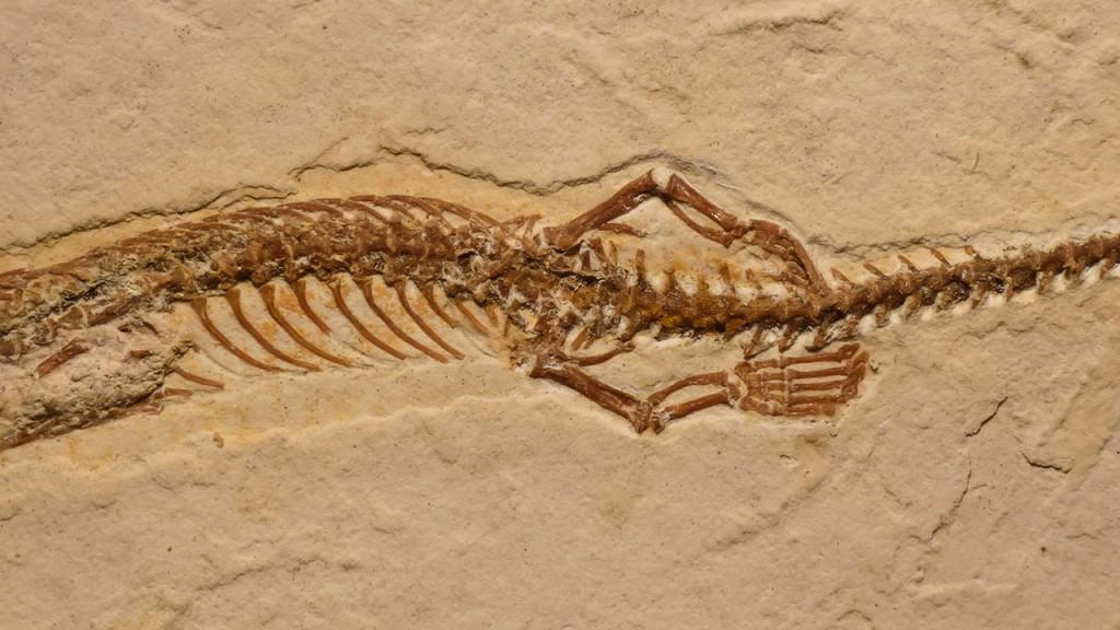 Fosila unui șarpe cu patru picioare